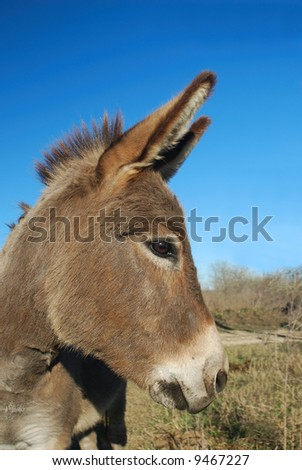 Profile of a donkey with ears pointed forward. - stock photo