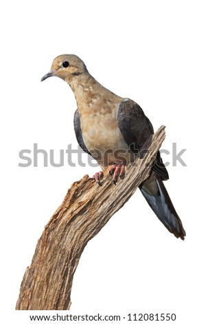 Profile of a mourning dove using its talons to grasp the end of a dried, broken branch. Dove leans forward on a 45 degree angle, white background