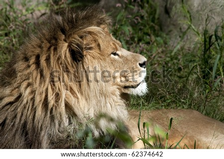 Profile of a proud male lion