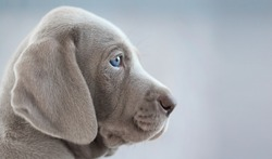 profile of a puppy weimaraner, on a grey background