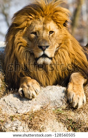 profile of a relaxed African lion #128560505