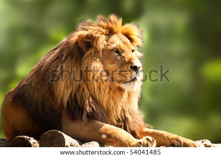 Stock Photo profile of a relaxed African lion staring in the zoo