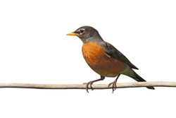 Profile of a robin perched on a  branch. Its bright orange breast is prominently displayed on a white background
