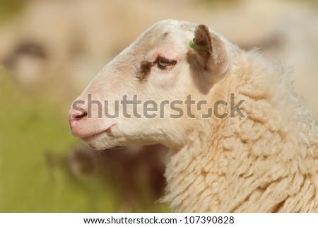 Profile of a sheep - stock photo