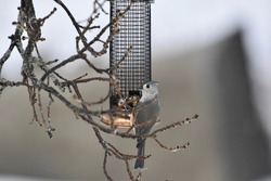 Profile of a Tufted Titmouse bird hanging from a feeder in winter