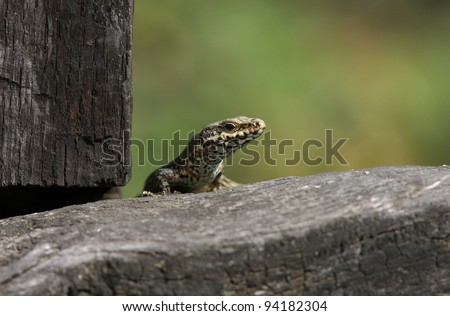 profile of a wall lizard Podarcis muralis