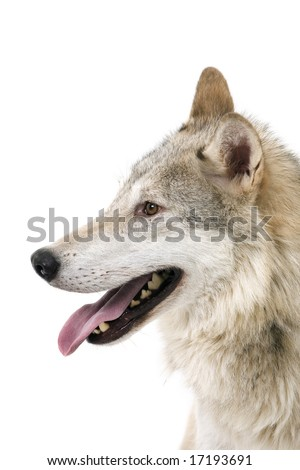 Profile of a wolfs face on a white background