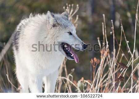 Profile of a young Arctic wolf, panting and looking into the distance, surrounded by tall grasses.