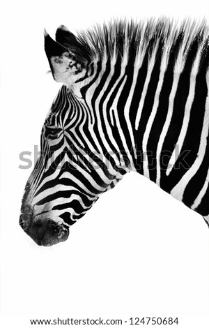Profile of a zebra in black and white.  If you look closely at his ear, he appears to have a lion face in his pattern!  This is his natural pattern, not a photo manipulation.