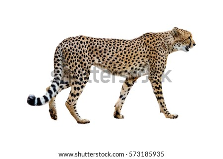 Profile of African Cheetah walking. Isolated on white.