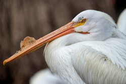 Profile of American White Pelican at Rest