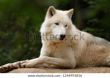 Profile of an artistic wolf in nature. White Wolf. Photo of the animal world. Arctic wolf in nature.