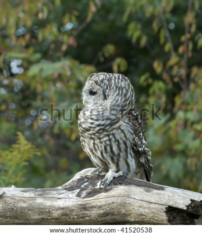 Profile of Barred owl (Strix varia) on log with autumn foliage in background. - stock photo