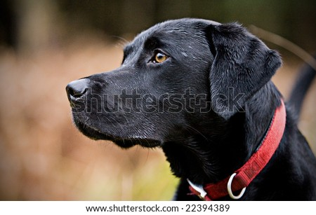 Profile of Black Labrador in Countryside