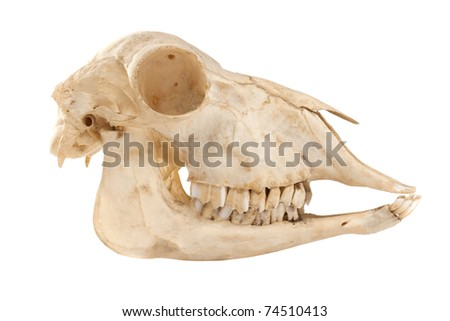 Profile of cutout skull of domestic horse on a white background (Equus caballus)