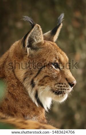 Profile of Eurasian lynx (Lynx lynx). Closeup of bobcat head. Bavarian forest, Germany. #1483624706