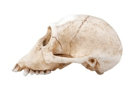 Profile of Faced Monkey`s  skull on white background