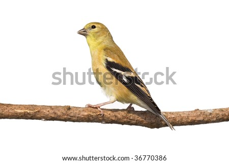 profile of female american goldfinch perched on a branch. white background