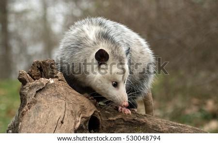 profile of female possum on tree branch