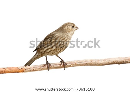 profile of female purple finch peering out out while sitting on a branch; white background