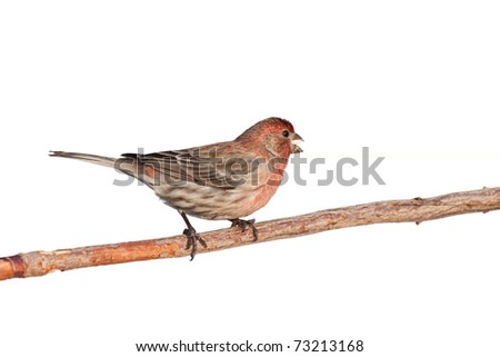 profile of finch eating a safflower seed while perched on a branch, white background