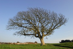 Profile of Gnarled Old Tree in Winter