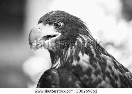 Profile of grand wild beautiful animal bird class of eagle with feathers and curved beak sitting and watching outdoor on blur background black and white, horizontal picture