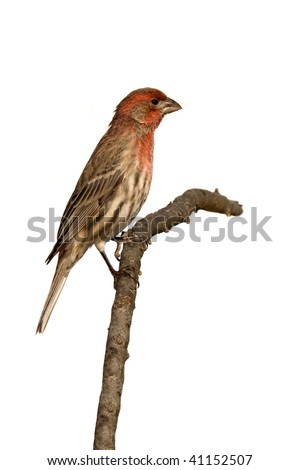 profile of house finch sitting on a branch. white background
