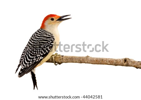profile of red-bellied woodpecker with beak open perched on a branch; white background