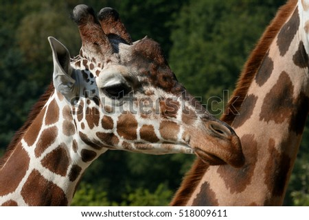 Profile of reticulated giraffe (Giraffa reticulata), also known as the Somali giraffe #518009611