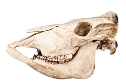 Profile of skull of domestic horse on a white background (Equus caballus)