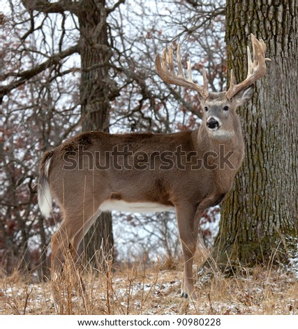 Profile of white-tail deer.