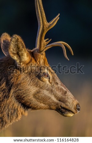 Profile of young male elk in Cataloochee, NC