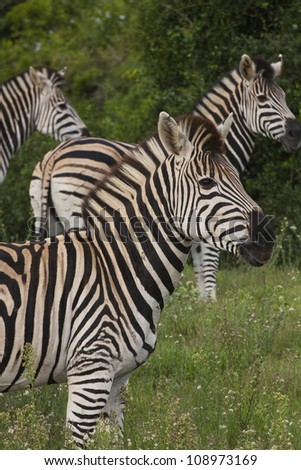 Profile of Zebra herd
