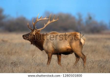 Profile photo of a Male Elk (cervus canadensis)
