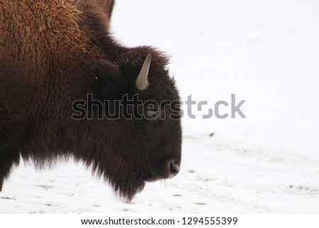 profile picture of a bison
