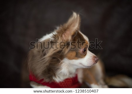 Profile picture of  long hair  chihuahua face.