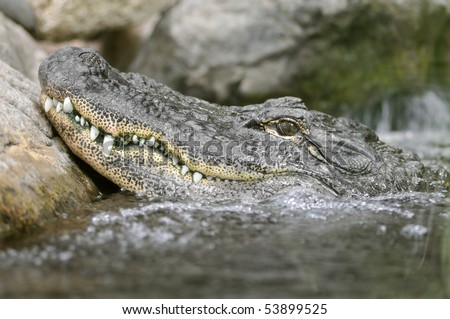 Profile portrait of a American alligator (Alligator mississippiensis) in water