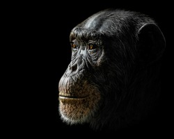 Profile Portrait of a Chimpanzee Against a Black Background