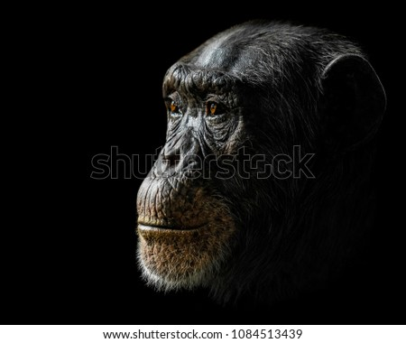 Profile Portrait of a Chimpanzee Against a Black Background
