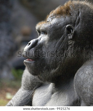 Profile portrait of a gorilla, taken at Loro Parque, Tenerife
