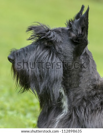 Profile Portrait of a Scottish Terrier
