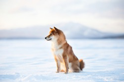 Profile Portrait of adorable red shiba inu dog outside at sunset in winter. Beautiful and gorgeous japanese shiba inu puppy sitting on the frozen lake on mountain background