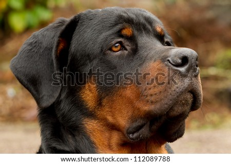 Profile portrait of an adult male purebred Rottweiler , narrow DOF , focus on the eye.