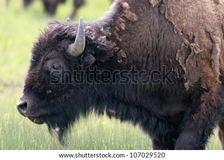 Profile portrait of an American Bison shedding fur and grazing in Grand Teton National Park in Wyoming