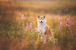 Profile Portrait of beautiful and happy red Shiba inu dog sitting in the field at golden sunset in summer. Cute japanese shiba inu dog in backlight