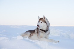 Profile portrait of beautiful dog breed husky is lying on the snow at sunset and looking into the distance. Portrait of Siberian husky topdog is on the ice floe of the frozen Okhotsk sea