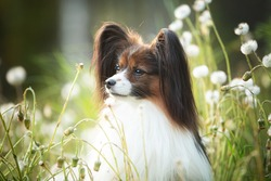 Profile Portrait of beautiful papillon dog lying in the green grass and faded coltsfoot flowers in summer. Close-up of Cute Continental toy spaniel outdoors at sunset