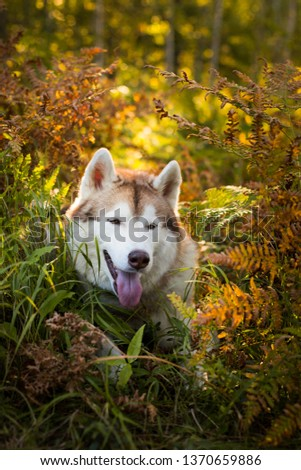 Profile Portrait of cute and happy siberian husky dog with brown eyes sitting in fern grass in the forest at sunset in autumn.