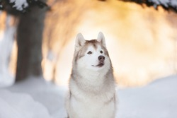 Profile portrait of cute, beautiful and happy siberian Husky dog sitting on the snow in winter fairy forest at golden sunset